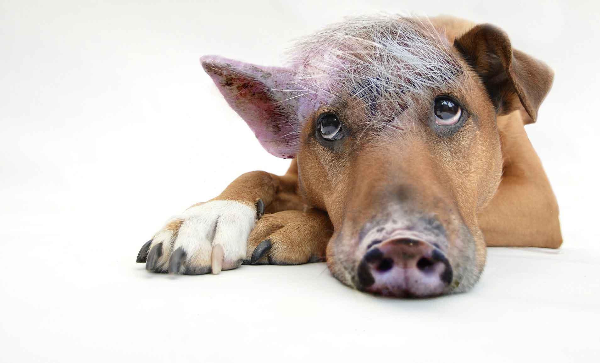Der Schweinehund gegen Neujahrsvorsätze